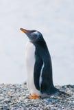 Gentoo pingvin Arkivbild
