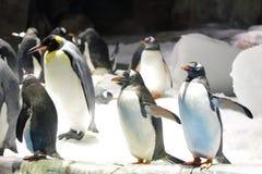 Gentoo pingvin Arkivbilder