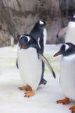 Gentoo pingvin Royaltyfri Foto