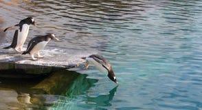 Gentoo pingvin Arkivfoton