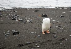 Gentoo pingvin Royaltyfria Foton
