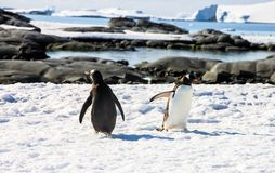 Gentoo pingvin Royaltyfri Fotografi