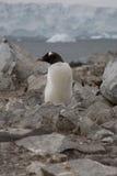 Gentoo pingvin, Antarktis. arkivfoto