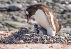 Gentoo pingvin i Antarktis arkivbilder