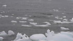 Gentoo pingvin i vattnet lager videofilmer