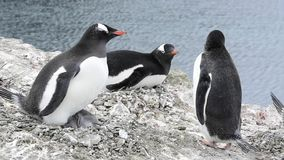 Gentoo pingvin med fågelungar på redet lager videofilmer