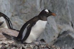 Gentoo pingvin med fågelungen Arkivfoto