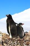 Gentoo pingvin med fågelungen Arkivfoton