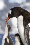 Gentoo pingvin och fågelungar under matning Royaltyfri Bild