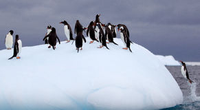 Gentoo pingvin på isberget Fotografering för Bildbyråer
