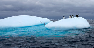 Gentoo pingvin på isberget Arkivfoton