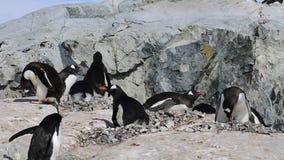 Gentoo pingvin på redet lager videofilmer