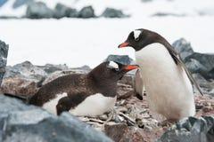 Gentoo pingvin på redet Arkivbilder