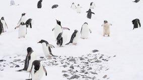 Gentoo pingvin på stranden lager videofilmer
