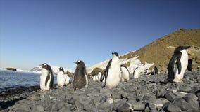 Gentoo pingvin på stranden arkivfilmer