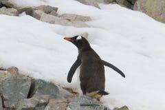 Gentoo pingvin på snöig Neko Harbor, Antarktis Fotografering för Bildbyråer