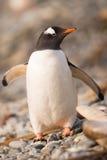Gentoo pingvin, södra Georgia, Antarktis Fotografering för Bildbyråer