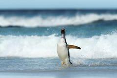 Gentoo pingvin som ashore kommer från stormiga Atlantic Ocean arkivbilder