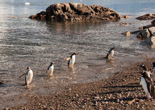 Gentoo pingvin som baksidt kommer från fiske Arkivfoto