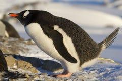 Gentoo pingvin som defekerar nära Arkivbilder