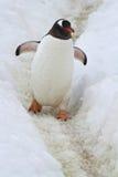 Gentoo pingvin som går på ett lagt spår Arkivbild