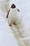 Gentoo pingvin som går på slingavåren Royaltyfri Bild