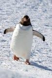 Gentoo pingvin som går till och med snön Arkivfoton