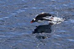 Gentoo pingvin som hoppas ut ur vattnet medan Royaltyfria Bilder