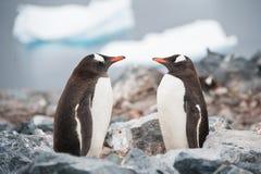 Gentoo pingvin som ser i spegeln Antarktis Arkivfoton