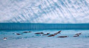 Gentoo pingvin som simmar i antarktiskt vatten Arkivfoton