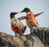 Gentoo pingvin som slåss, Antarktis Royaltyfria Bilder