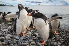 Gentoo pingvin som spelar vänskapsmatchen, Cuverville ö, Antarktis Arkivbild