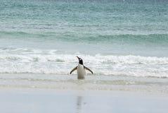 Gentoo pingvin som tycker om vattnet Arkivbilder