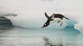 Gentoo pingvinbanhoppning i vattnet Arkivbilder