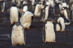 Gentoo pingvinfågelungar - Falkland Islands royaltyfri foto