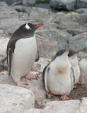 Gentoo pingvinfamilj i bygga bo i klipporna. Royaltyfri Bild