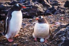 Gentoo pingvinPygoscelis papua med ägget arkivfoto