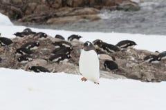 Gentoo pingvinråkkoloni, Neko Harbor, Antarktis Arkivfoton