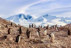 Gentoo pingwinów koloni członkowie siedzi na skałach z mountai Obraz Stock