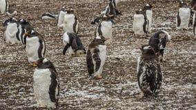 Gentoo pingwinów kolonia na Falklands wyspach zdjęcie stock