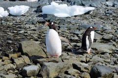 Gentoo pingwinów zakończenia Mikkelson schronienie, Antarctica Obraz Stock