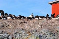 Gentoo pingwinów zakończenia Mikkelson schronienie, Antarctica Fotografia Royalty Free