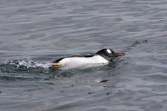 gentoo pingwin Zdjęcia Royalty Free