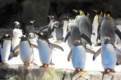 Gentoo Pingwin Obraz Stock