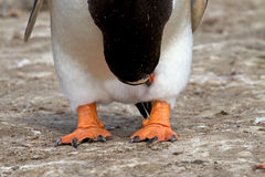 Gentoo pingwin Fotografia Royalty Free