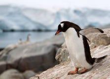 Gentoo pingwin Obrazy Stock