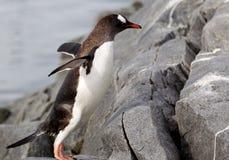 Gentoo pingwin Zdjęcia Stock