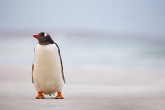 Gentoo pingwin na białej piasek plaży (Pygoscelis Papua) Falklan Zdjęcia Stock
