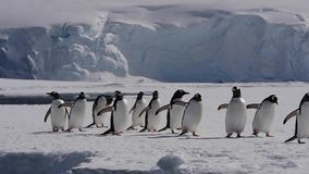 Gentoo pingwin na lodzie zbiory