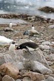 Gentoo pingwin na nim ` s żołądek na skale fotografia royalty free